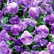 Tříbarevná fialová